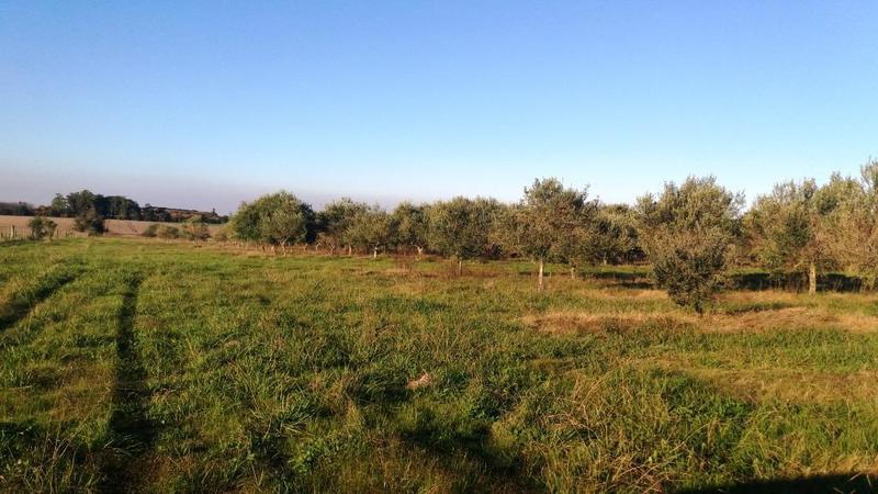 Foto Campo en Venta en  Colonia del Sacramento ,  Colonia  25 has con Plantacion de Olivos