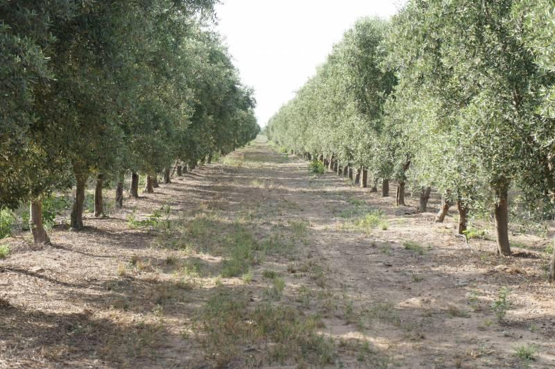 Foto Fondo de Comercio en Venta en  Maipu,  Maipu  Campo y Planta Productora de Aceite de Oliva: Catamarca