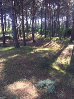 Foto Terreno en Venta en  Montoya,  La Barra  BARRA VERDE LOTE 1.374 Mts2 ALTO CON ONDULACIONES Y PINOS