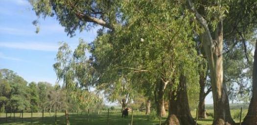 Foto Campo en Venta en  Villa Ansina ,  Tacuarembó  Campo en Rivera y Tacuarembó, ganado,  plantío eucaliptus