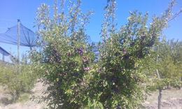 Foto Quinta en Venta en  San Rafael ,  Mendoza  San Rafael, Salto de las Rosas, Mendoza