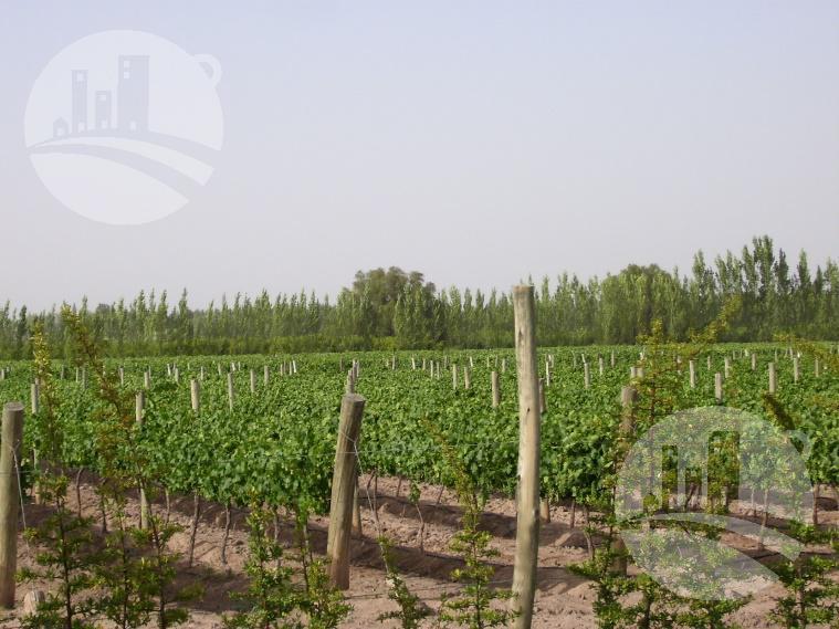 Foto Campo en Venta en  General Alvear ,  Mendoza  Viñedo 40 Has. / 15 Has. loteo aprobado